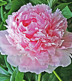Pink, deep red and white peonies Frog Meadow New England's Best All Male Gay Resort in Southern Vermont